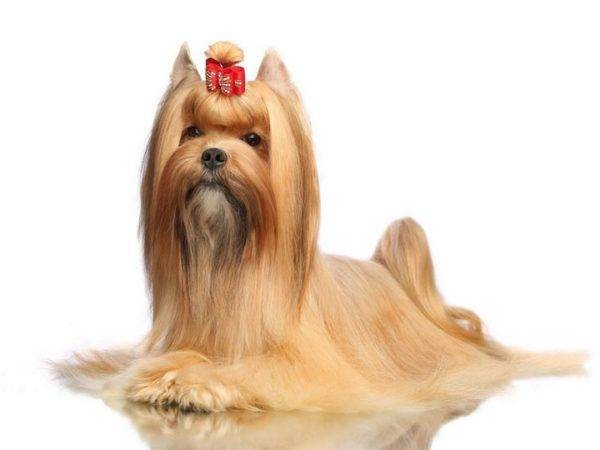 Russian salon dog on white background