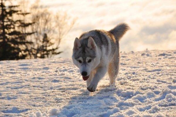 Sakhalin Husky is looking for