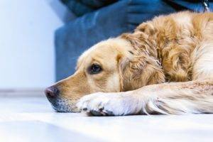 Toxocarosis in dogs
